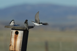 3 Tree Swallows.jpg