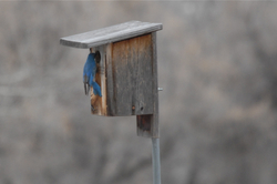Bluebird at Box.jpg