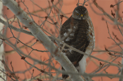 Coopers Hawk glaring.jpg