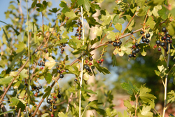 Currant (uned.jpg