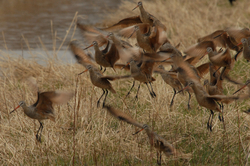 Godwits flying.jpg