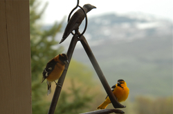 Grosbeak and Oriole.jpg