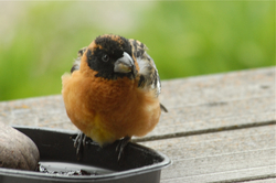 Grosbeak at jelly feeder.jpg