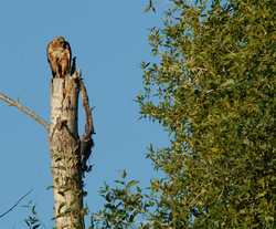 Hawk on snag.jpg