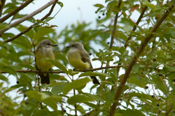 Kingbirds young.jpg