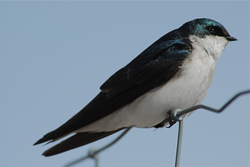 Large Tree Swallow.jpg