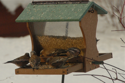 Rosy-finches at feeder.jpg