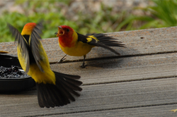 Tanagers fighting.jpg