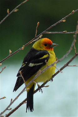 Western Tanager 1.jpg
