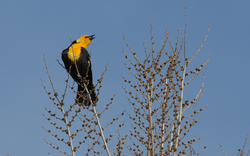 Yellow-headed Bl.jpg