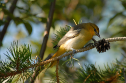 Young oriole in pine.jpg