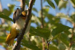 Young oriole preening 2.jpg