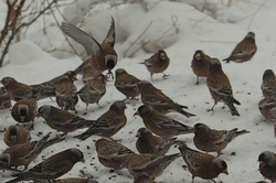 rosy-finch flock.jpg