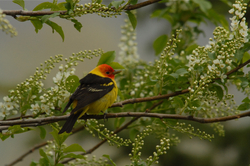 tanager in chokecherry.jpg